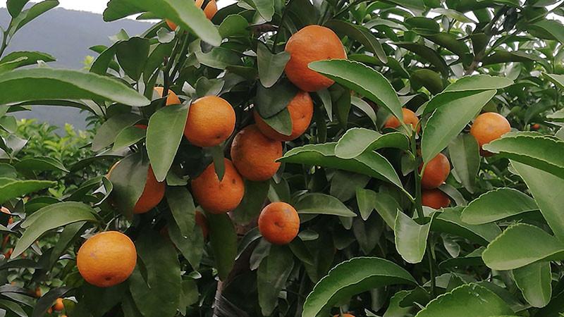 橘子的功效与作用及禁忌