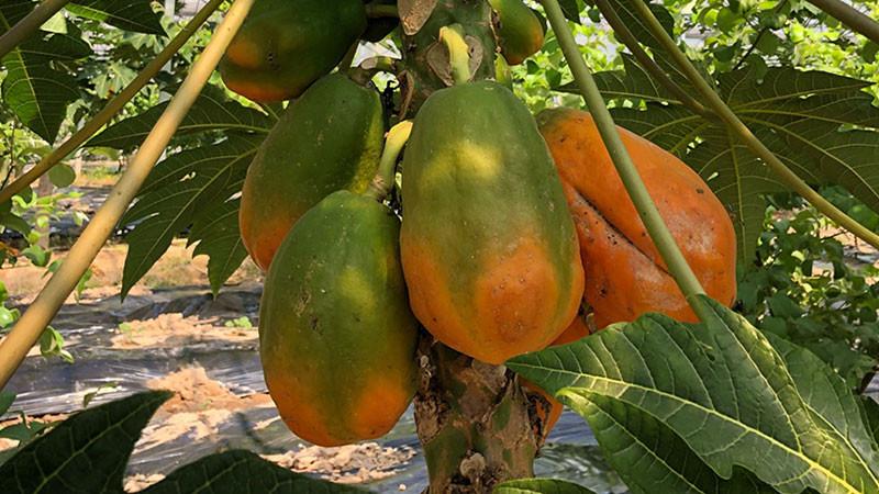 木瓜的功效与作用及禁忌