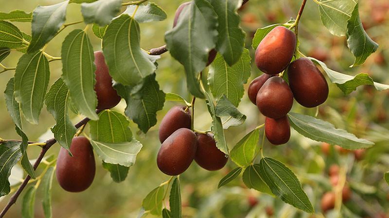 红枣的功效与作用及禁忌