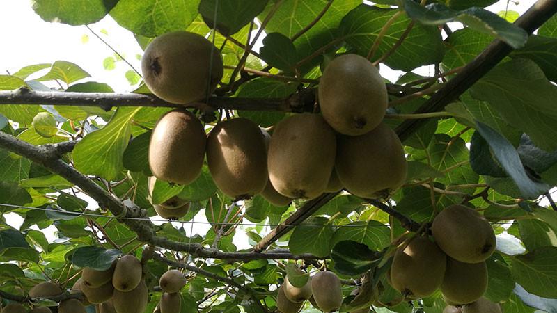 猕猴桃的功效与作用及禁忌