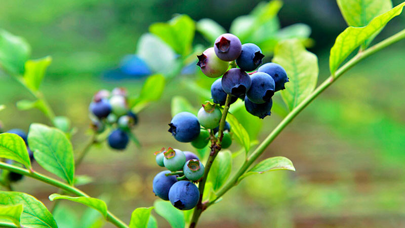 蓝莓的功效与作用及禁忌