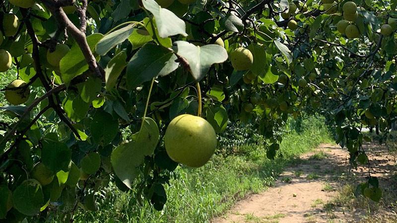 梨子的功效与作用及禁忌