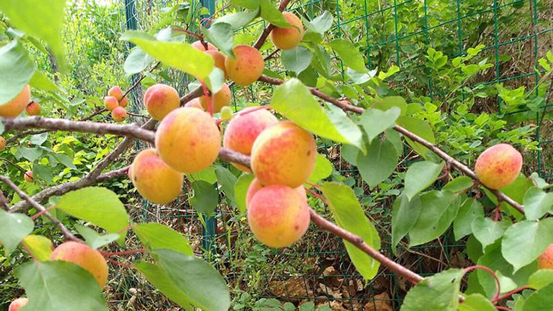 杏子的功效与作用及禁忌