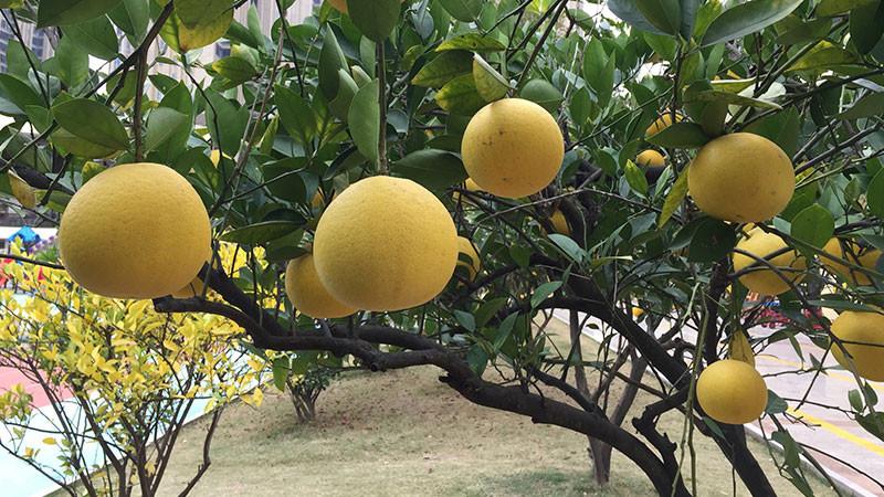 柚子的功效与作用及禁忌