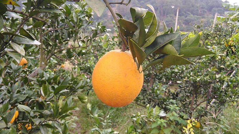 橙子的功效与作用及禁忌