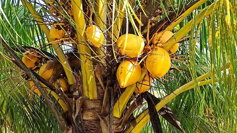 椰子的功效与作用及禁忌