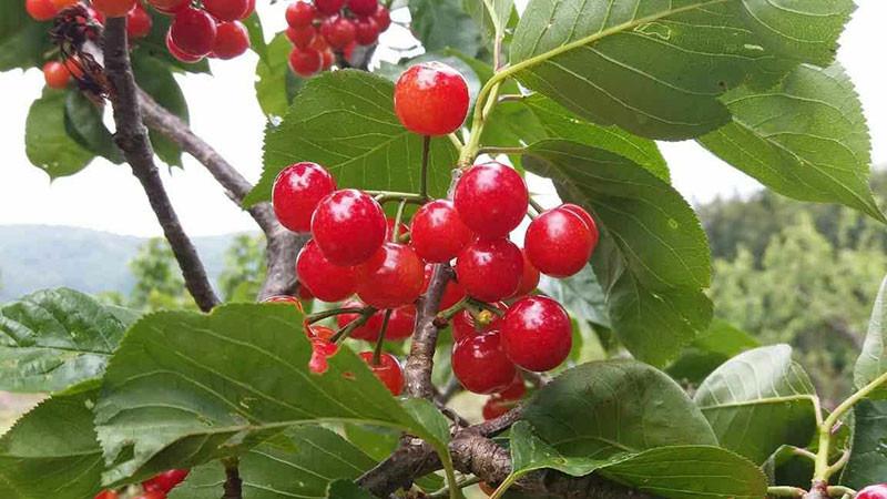 樱桃的功效与作用及禁忌