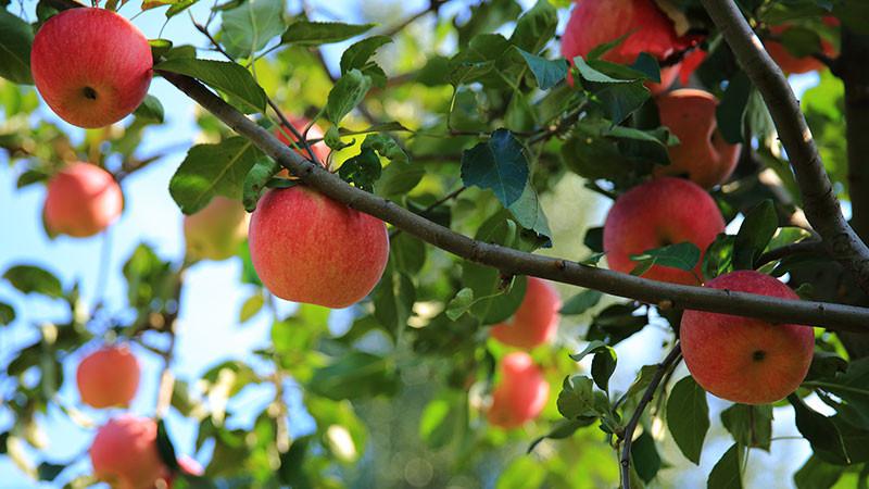 苹果的功效与作用及禁忌