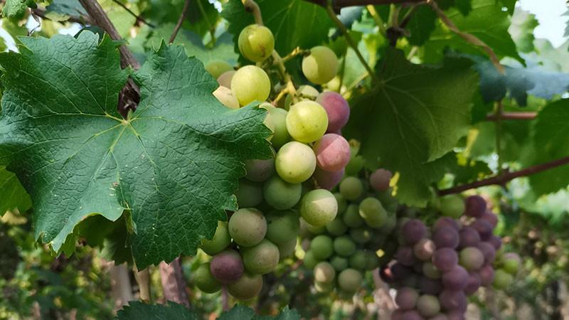 葡萄的功效与作用及禁忌