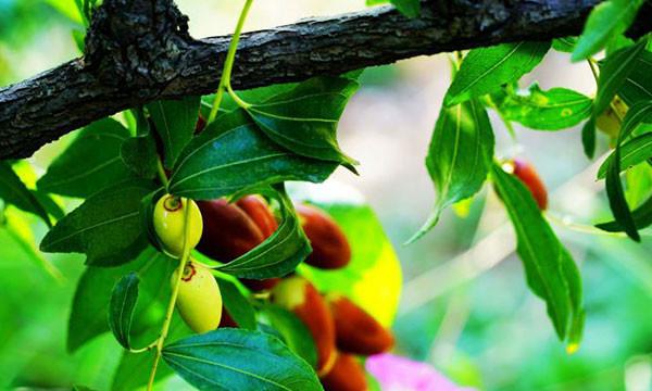 红枣每天吃多少合适?